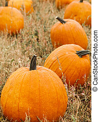 Big and little pumpkins at the pumpkin patch in aearly Autumn.