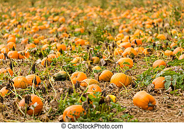 Harvest time on a large pumpkin farm.