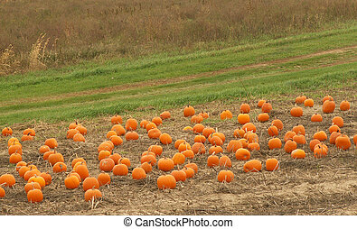 pumpkin patch ready for picking