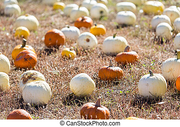 Pumpkin patch - Selecting pumpkin from pumpkin patch in...