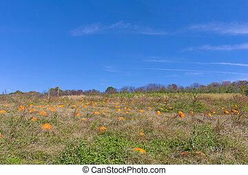 Pumpkin patch under blue skies.