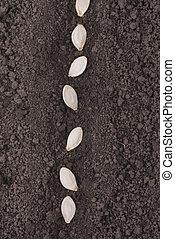 Pumpkin seeds in the ground.