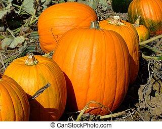 Pumpkings on Indian garden farm Bridgewater Lunenburg County...