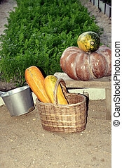 Pumpkins and zucchini in a basket close - up on the background of a garden bed. The Sepia color. The harvest in the fall.