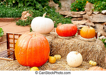 Pumpkins (Cucurbita moschata)