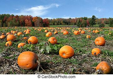 Pumpkins field, ready to harvest