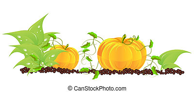 Pumpkins grow in a garden