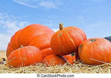Pumpkins in farm