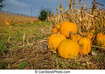 Pumpkins in the garden, against the background of other plants.