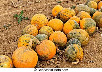 Pumpkins on a field