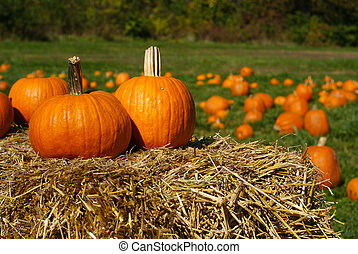Pumpkins on top of hay bale with pumpkin patch in background...