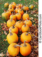 Pumpkins paddock