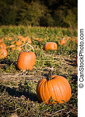 Pumpkins patch
