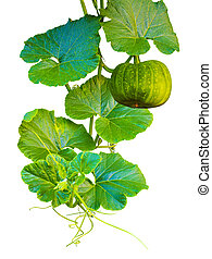Pumpkins. Pumpkins isolated on white background. yellow pumpkin vegetable with green leaves.  Pumpkins isolated