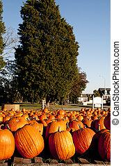 Pumpkins - A bunch of plump and juicy holliday pumpkins.