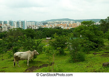 A beautiful Indian city showing blend of a rural and urban with distant building and a cow.