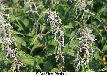 pungent and irritating nettle plants excellent for preparing a tasty rice
