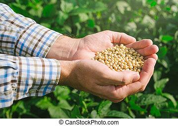 punhado, agricultor, od, campo, soja, cultivado