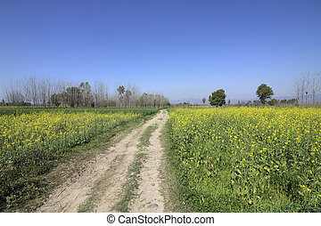 beautiful countryside near anandpur sahib in punjab india with mustard fields under a blue sky