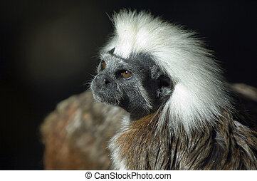 Punk Ape - A monkey shot in the south american jungle at the...
