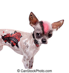 Punk style peruvian hairless and chihuahua mix dog with tattoo and piercing isolated on white