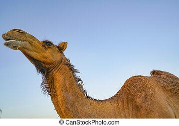 punkt, kamel, ansicht, niedrig