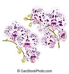 punkte, satz, zweige, purpurne blumen, phalaenopsis, vier, weißes, vector.eps, orchideen