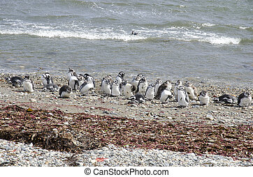 Punta Arenas - Penguin Colony