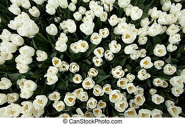 punta la vista, blanco, tulipanes, campo, con, el, sunlight.