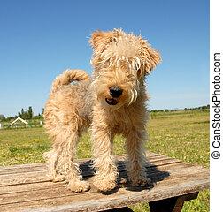 pup fox terrier