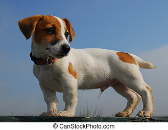 pup jack russel up
