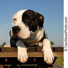 pup pit bull - pup purebred am\\\'staff