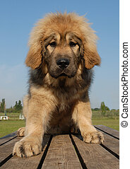 pup, tibetan mastiff