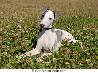 pup whippet - young purebred greyhound