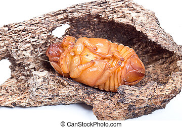 pupa of coconut rhinoceros beetle