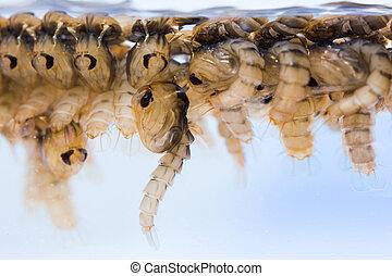 pupae, moustique