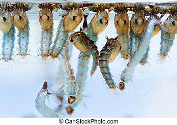 pupae, mygga, larver