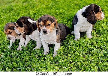 pupies, jardin, ensemble, trois