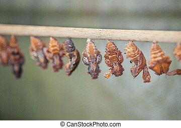 puppa, batterfly, monacrch