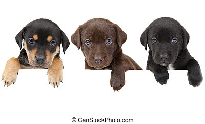 Puppies banner - 3 puppiesshowing their paws above white...