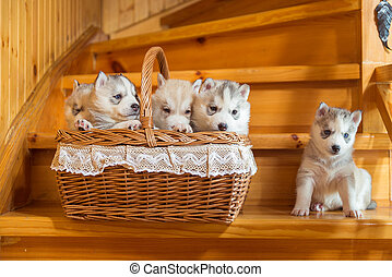 Puppies breed Siberian Husky sitting in a straw basket