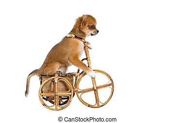 Puppies chihuahua on a bicycle
