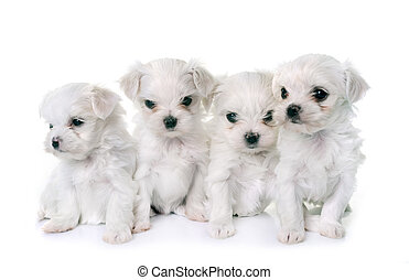 puppies maltese dogs in front of white background
