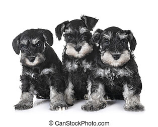 puppies miniature schnauzer in front of white background