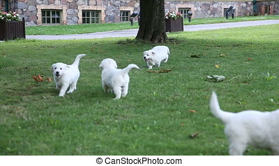puppies of a golden retriever are playing in the park