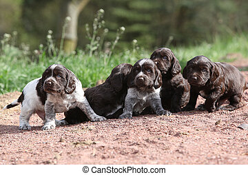Puppies of German Quail Dog