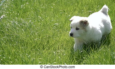 Puppies of the Alabai breed