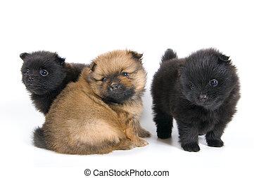 Puppies of the spitz-dog in studio