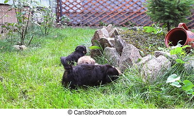 Puppies playing on grass