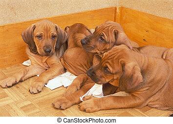 puppies (ridgeback)